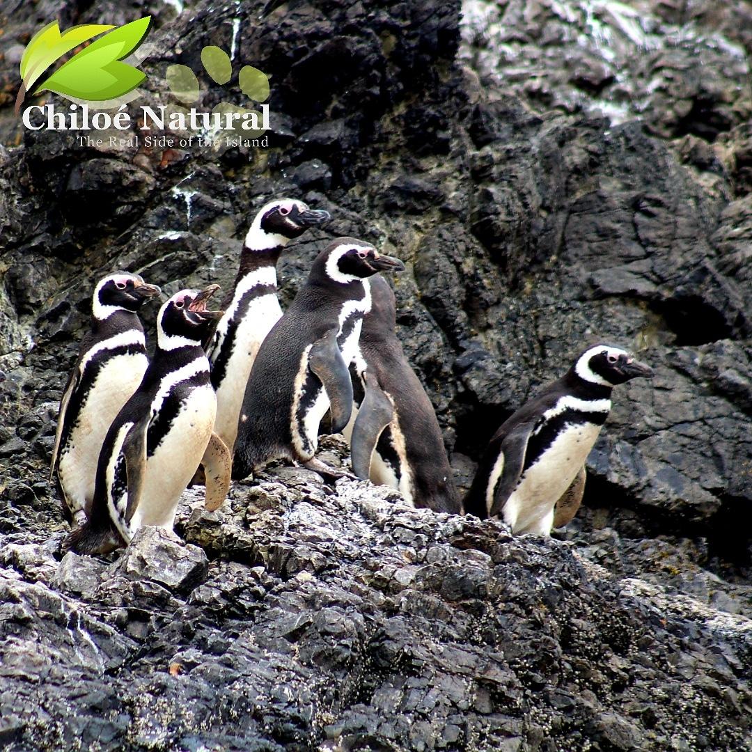 Pingüineras de Puñihuil y Ancud Histórico (Lunes y Viernes)